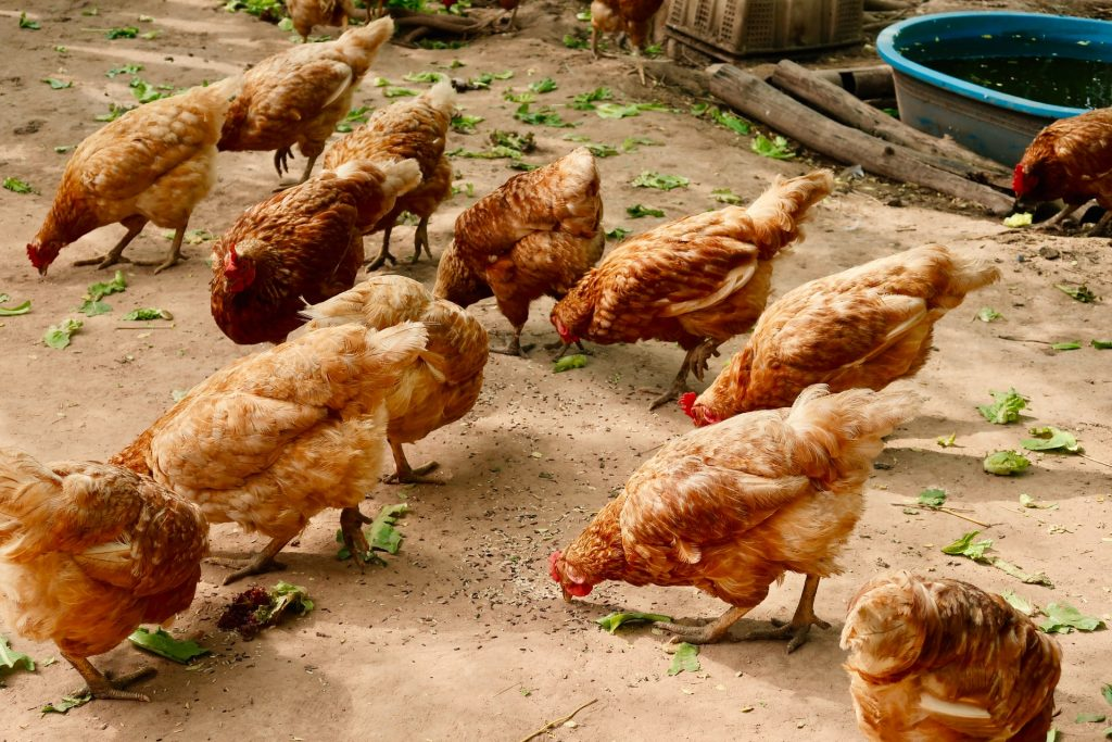 broiler feed livestock welfare