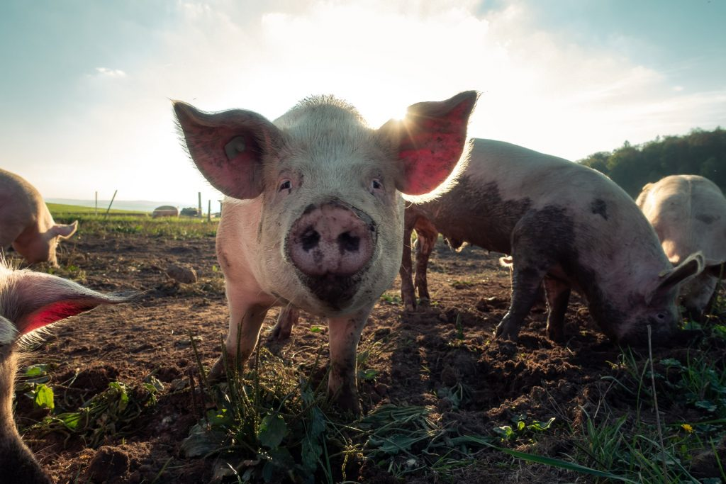 pigs fibre microbioma symbionts livestock-welfare