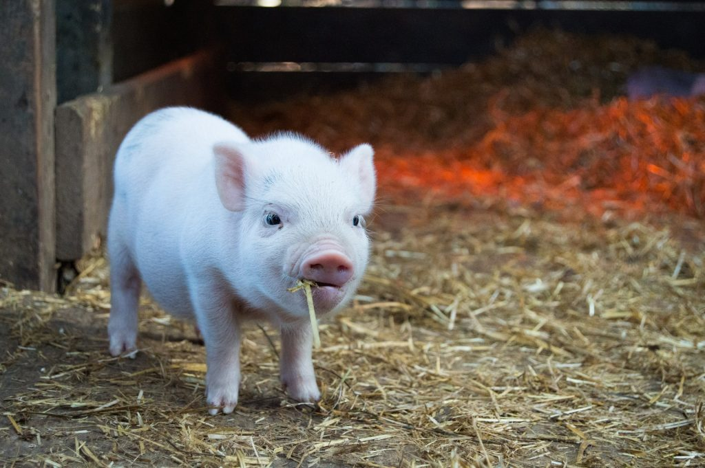 microbiome in younger animals pigs