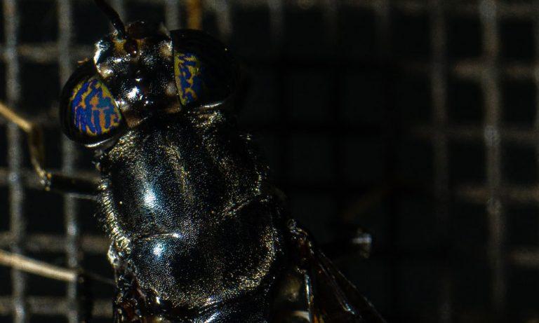 black soldier fly farine di insetto fonti proteiche alternative